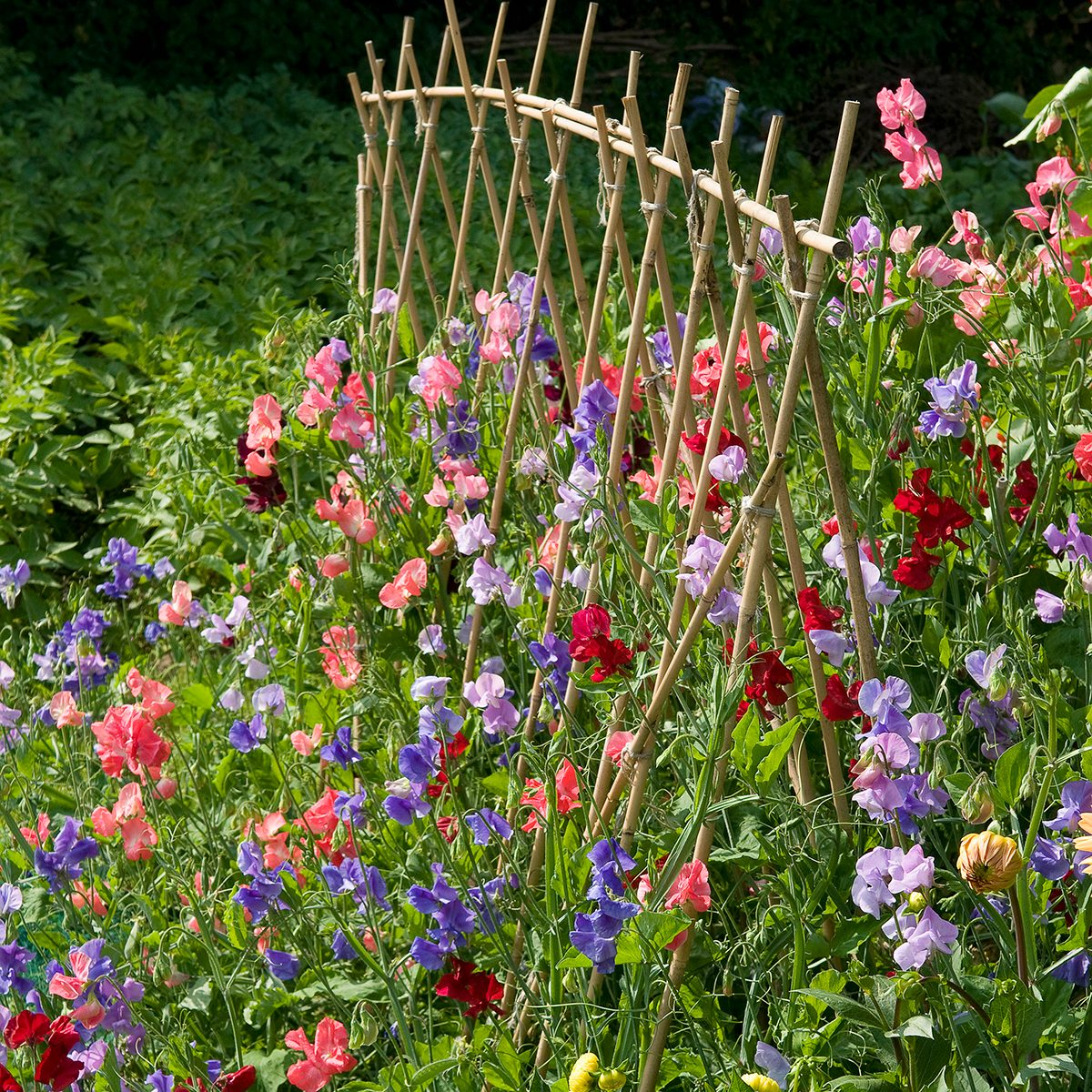 sweet pea flowers and cane support in english garden