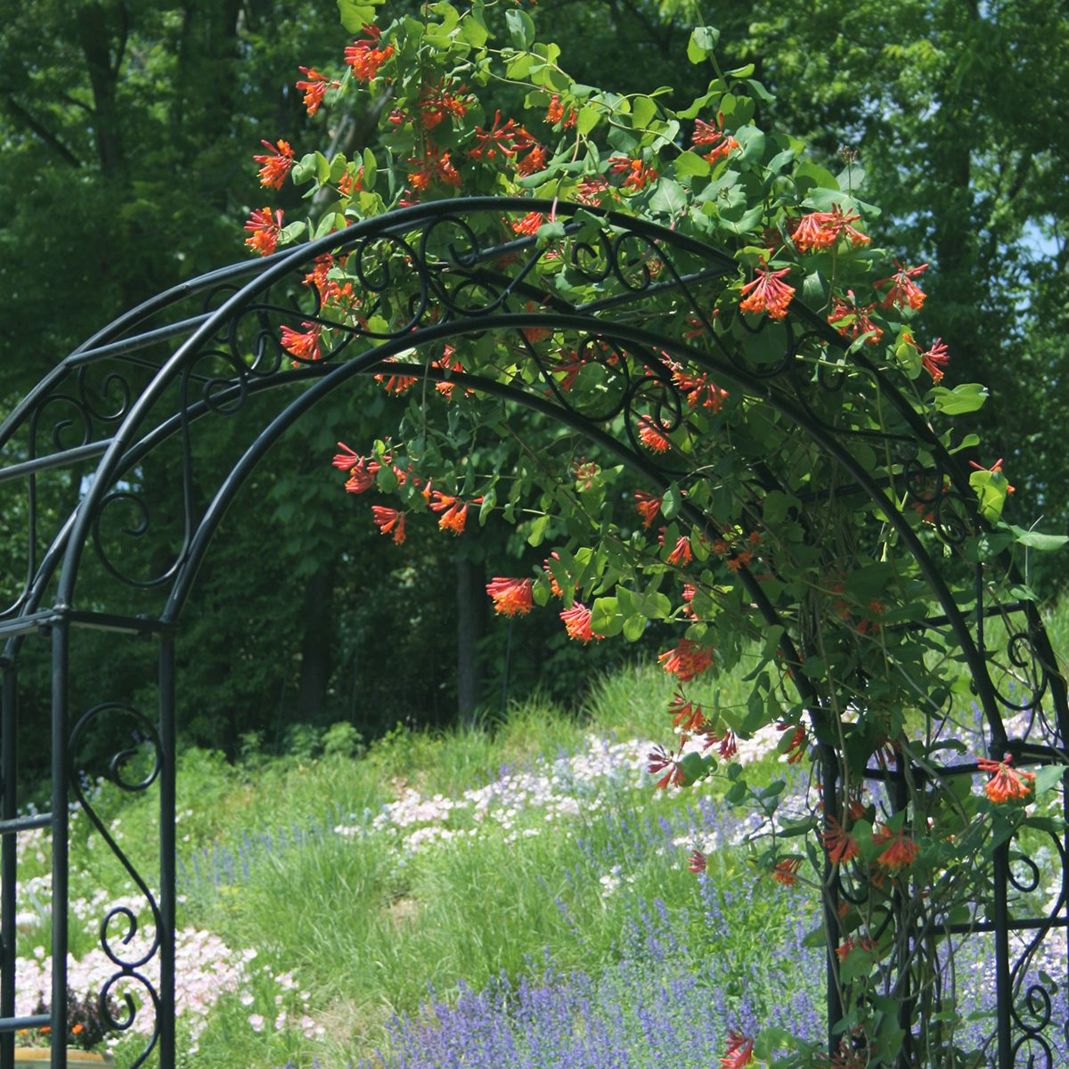 view through a black iron arbor draped with orange honeysuckle in early spring. View beyond is of wildflower meadow hillside in pink, purple and green. Very lush.