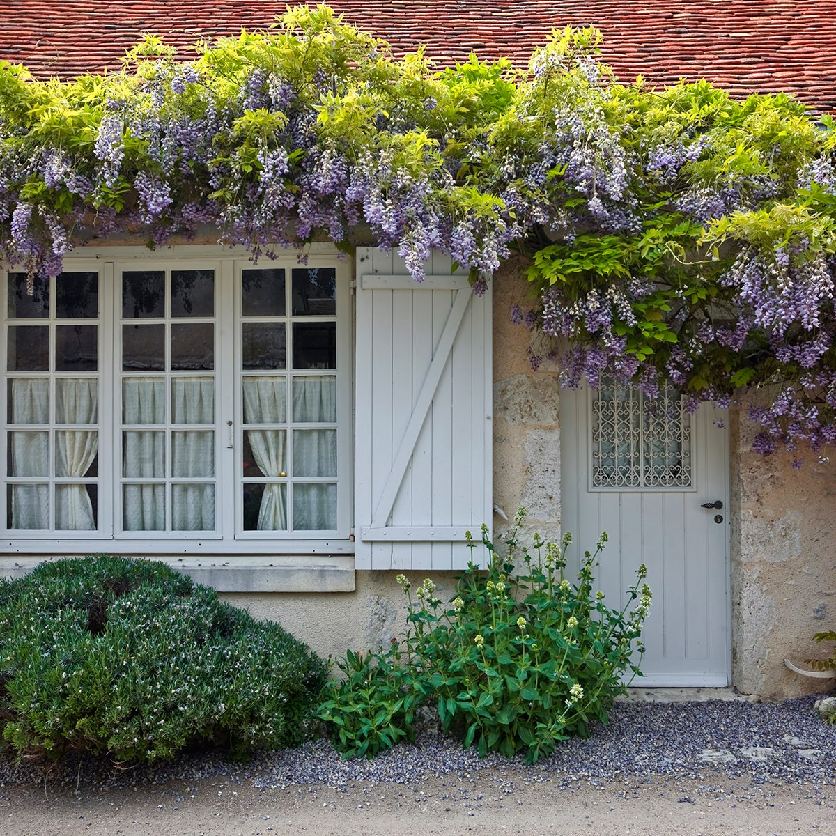 Clematis in full bloom surrounds the front of a house in saint-dyé-sur-loire, France. This small village is found on the edge of the Loire river.