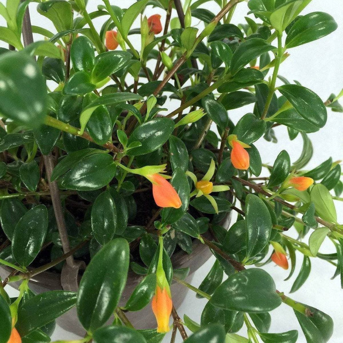 "Goldfish Plant - Columnea Gloriosa Plant - 1 Plants - 4 "" Long - Ship In 3"" Pot"