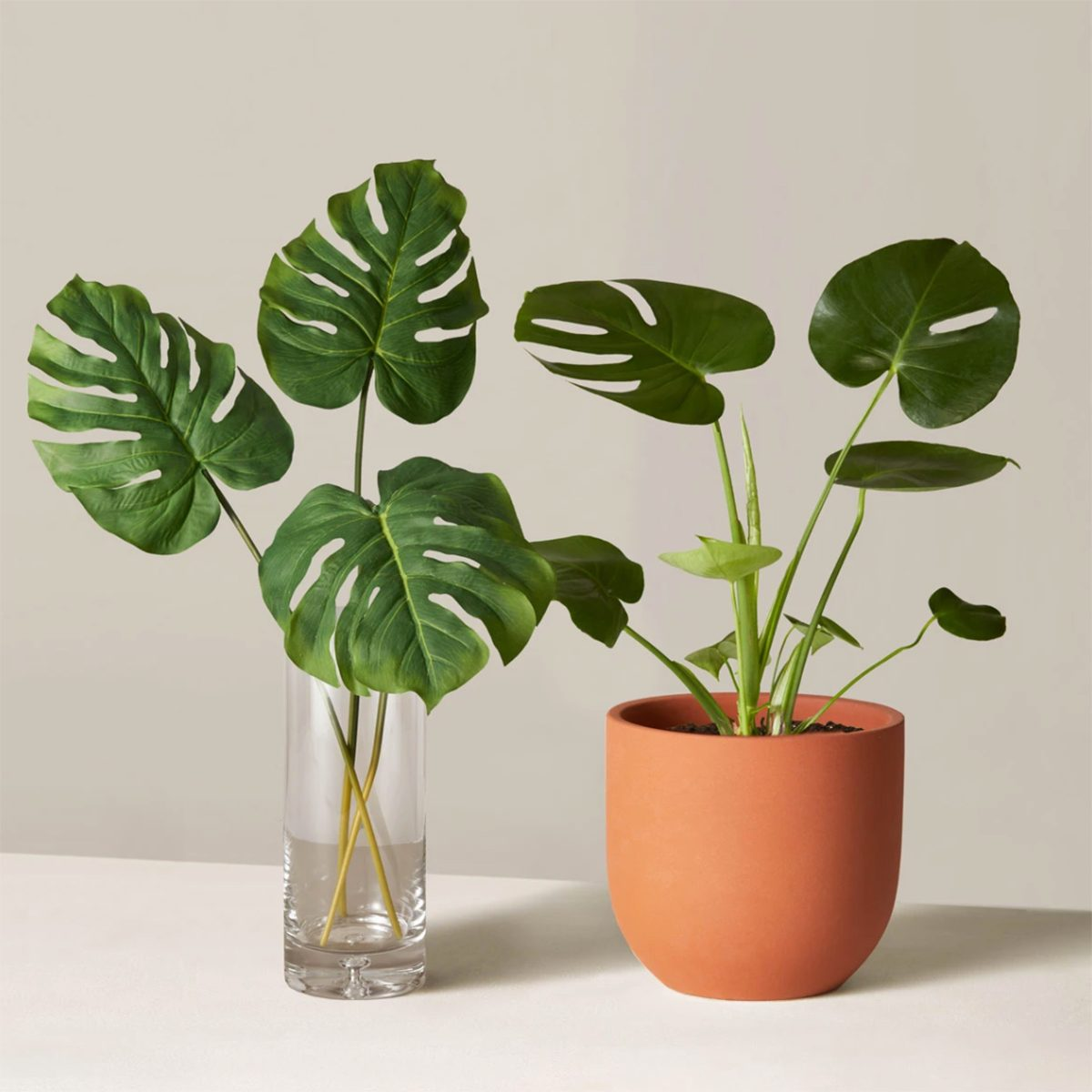 Monstera house plant from the Sill