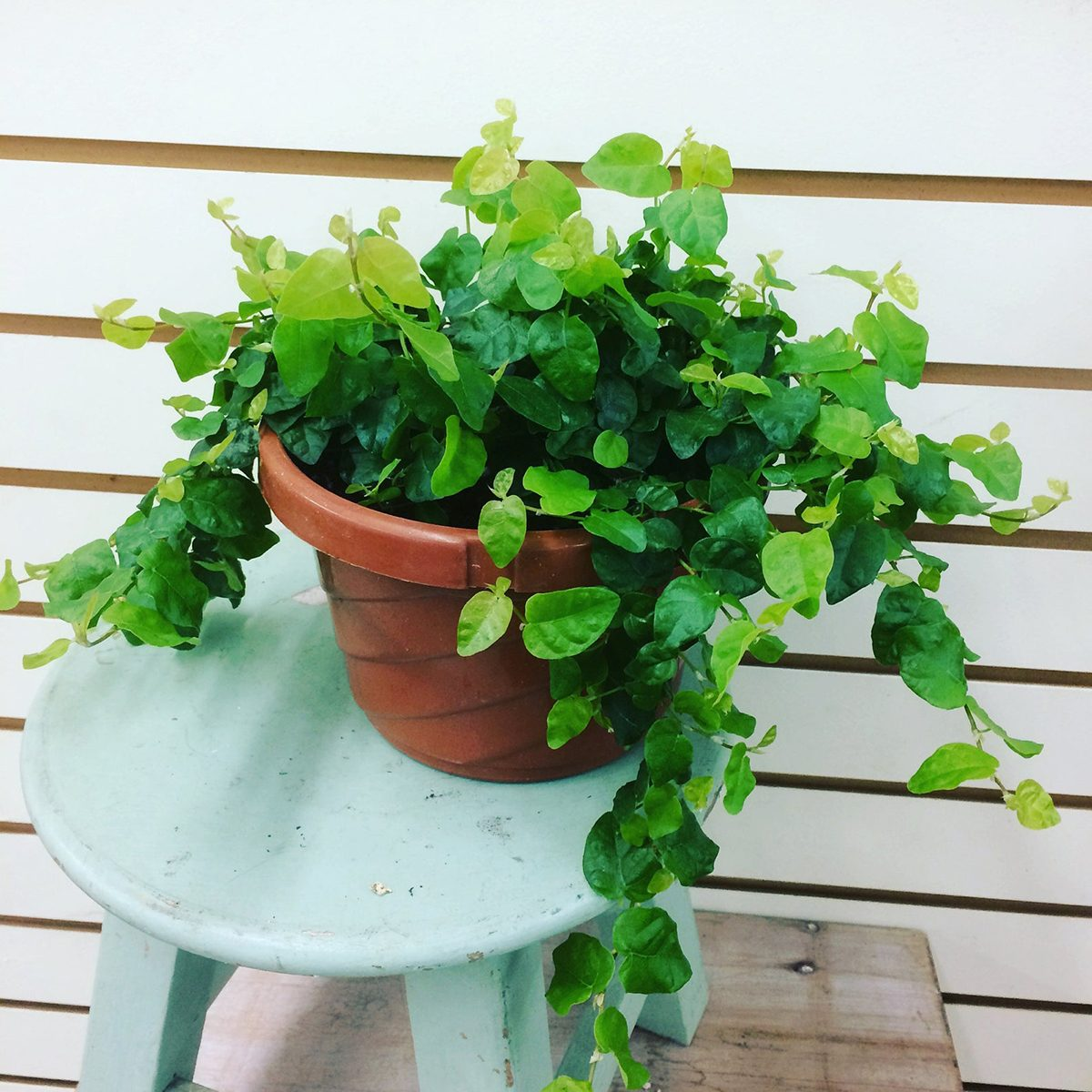 "Ficus pumila Creeping Fig Plant 6"""