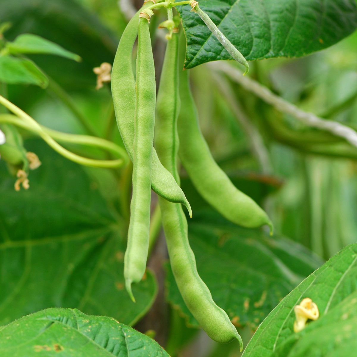 Climbing beans are growing.