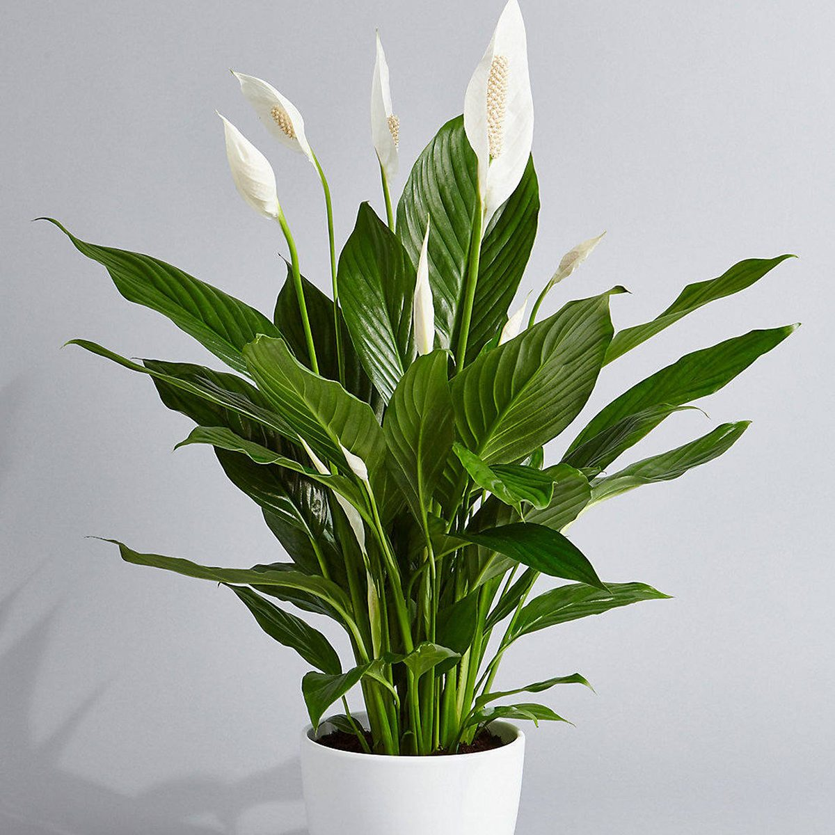 Peace Lily Air Purifying Plant - Easy Care Low Light Houseplant, Housewarming Present, Sympathy Gift, indoor Garden