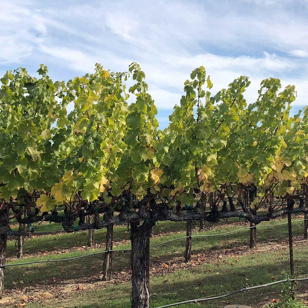Orchard in Healdsburg, California