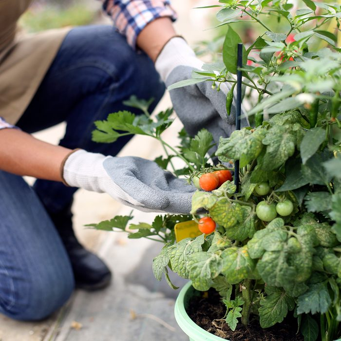 tomato garden with gardener