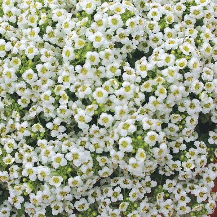 best smelling flowers Alyssum Carpet Of Snow