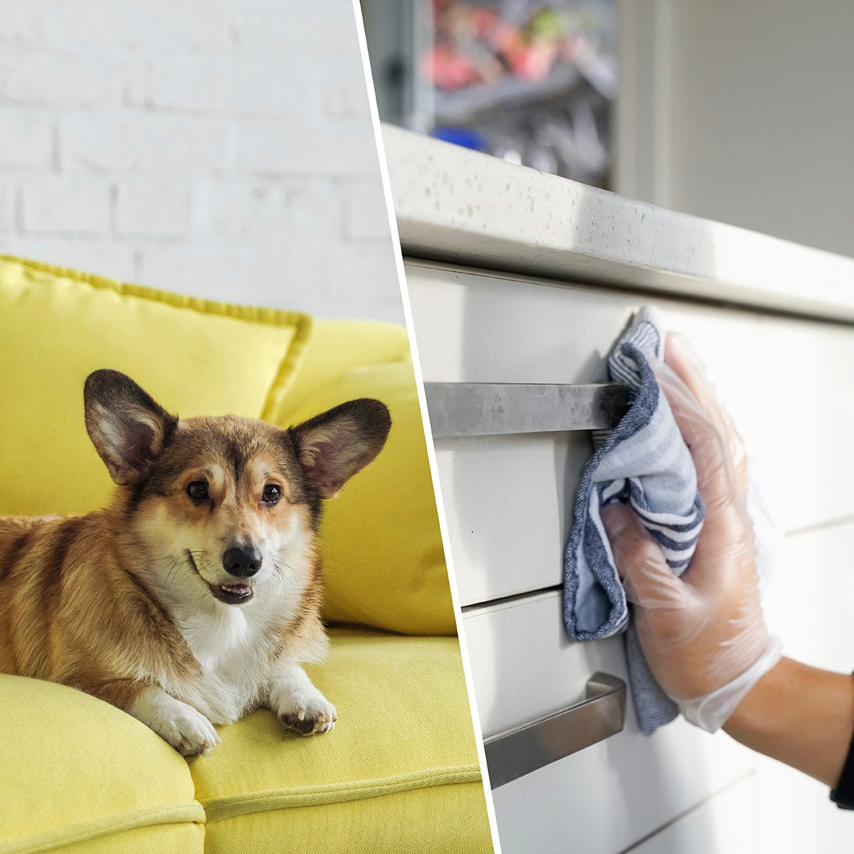 adorable corgi dog lying on yellow couch at home/a hand Wiping table surfaces