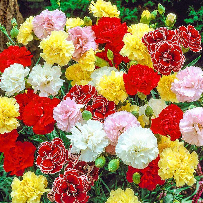 Fragrant Carnation Mixture