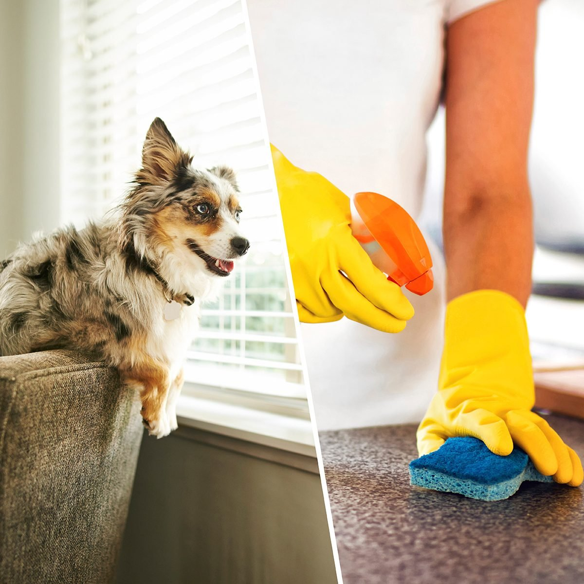 Shot of an adorable Australian shepherd dog sitting on the sofa at home/Woman Using Spray Polish To Clean Kitchen Surface. Woman cleaning kitchen