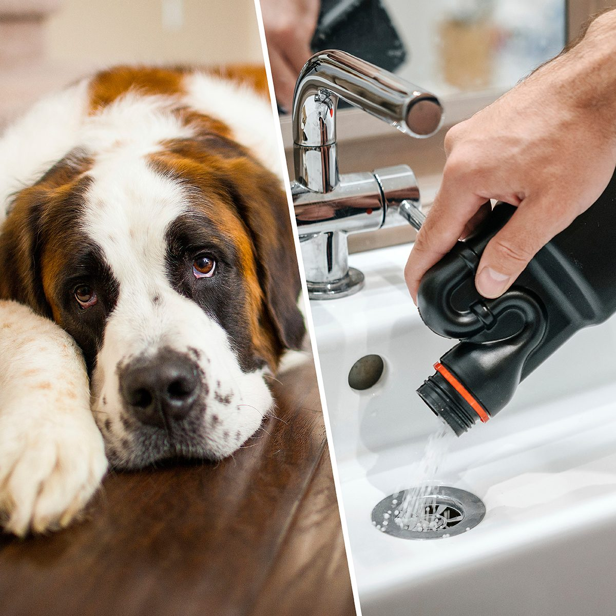 A tired Saint Bernard dog relaxes on a hardwood floor indoors./Removal of blockage in the sink, the hand of a man with a bottle of a special remedy with granules. Clean the blockages in the bathroom with chemicals.