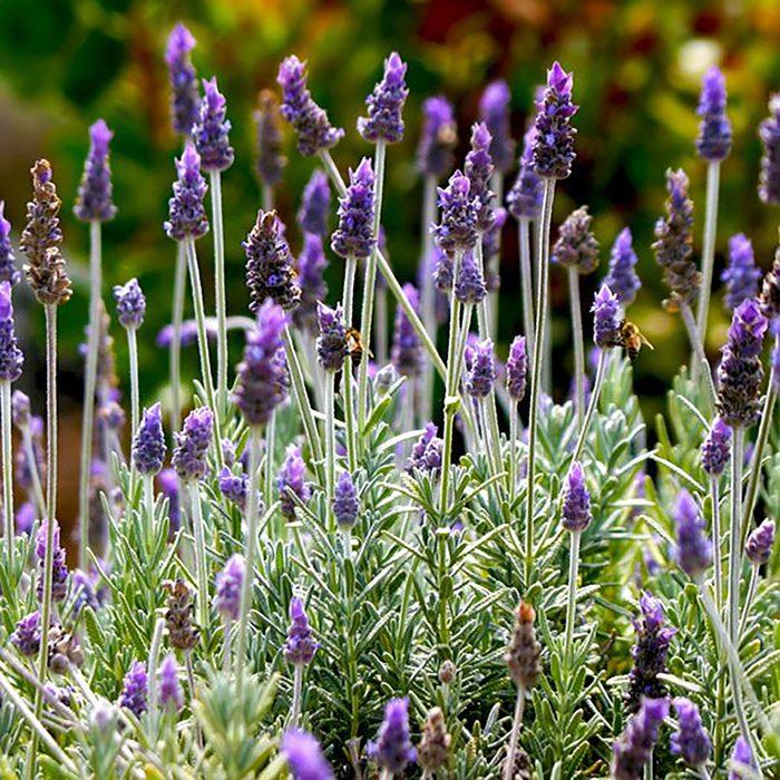 Silver Mist English Lavender