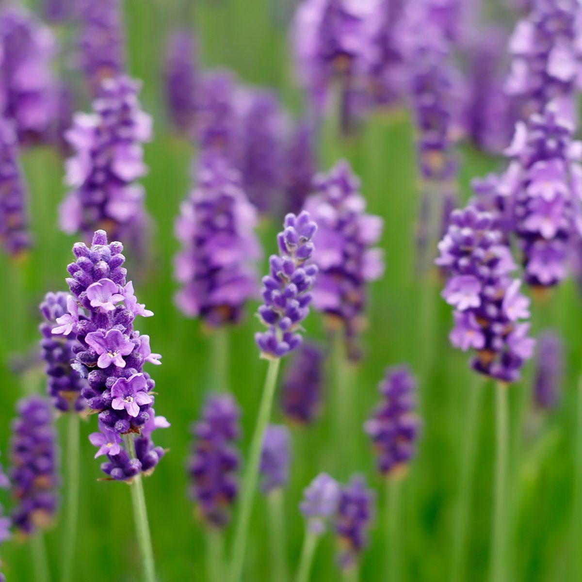 Lavender flowers blooming in a field