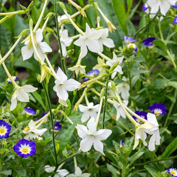 Flowering Tobacco best smelling flowers