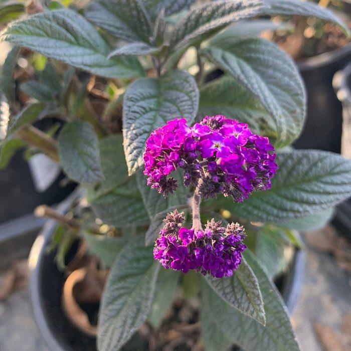 best smelling flowers Heliotrope Fragrant Delight