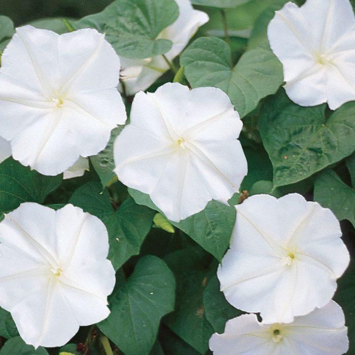 best smelling flowers Moonflower Giant White