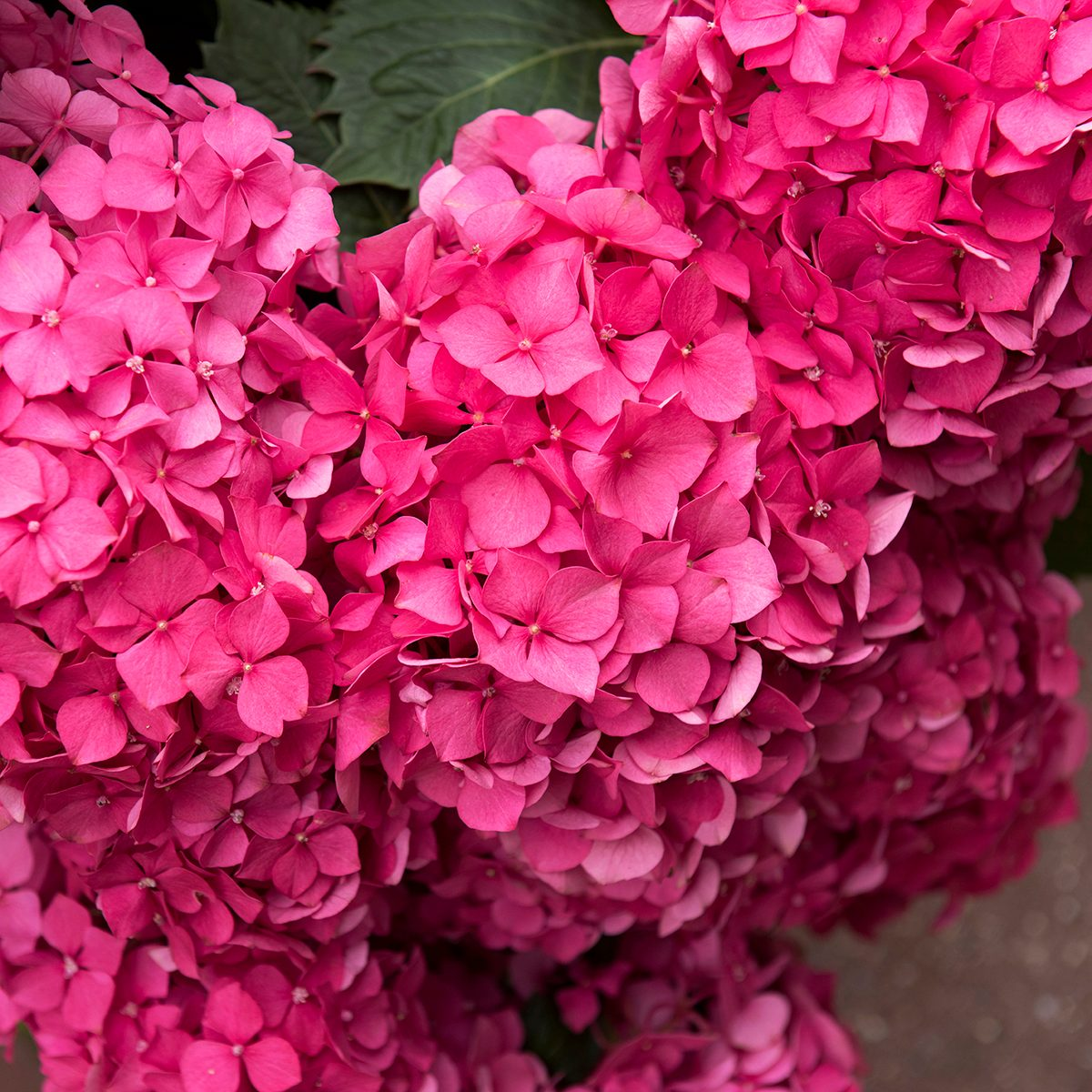 Close-up of pink colored hortensia flower at Cherbourg, Normandy region, Manche department, North-west France