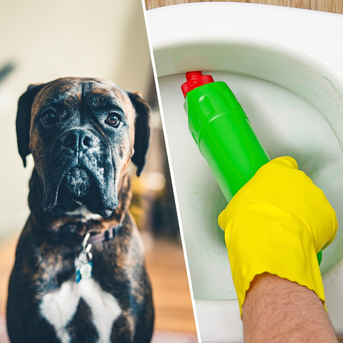 Portrait of a young boxer dog, sitting on the room floor./man cleaning wc. Housekeeper as a cleaning man at the toilet. Brush up Toilet for cleanliness and hygiene. cleaning toilet bowl. Cleaning service concept.