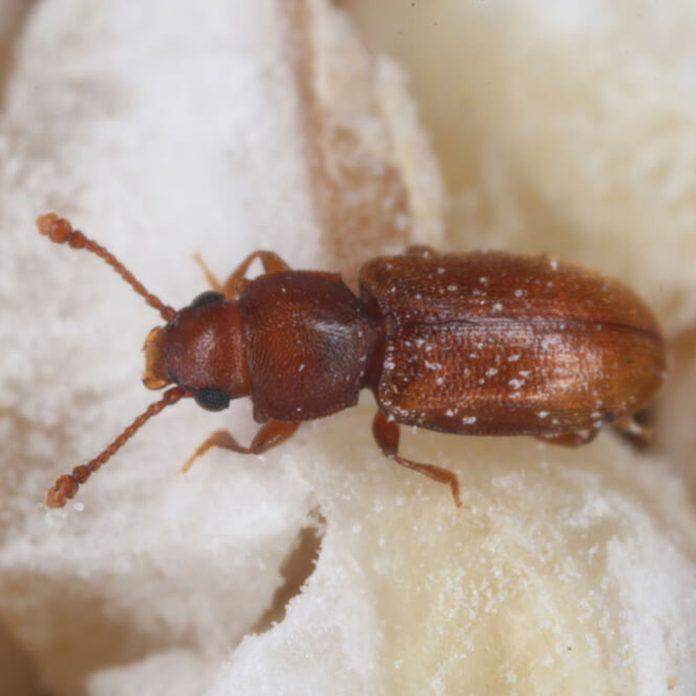 grain beetles