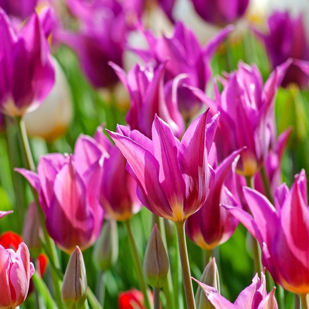 Tulipa 'Yume no Murasaki'