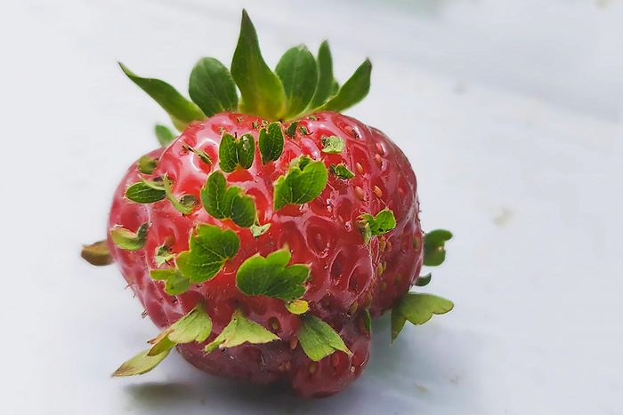"""strawberries have started displaying vivipary, a condition where the """"seeds"""" (achenes) start sprouting while still on the fruit"""