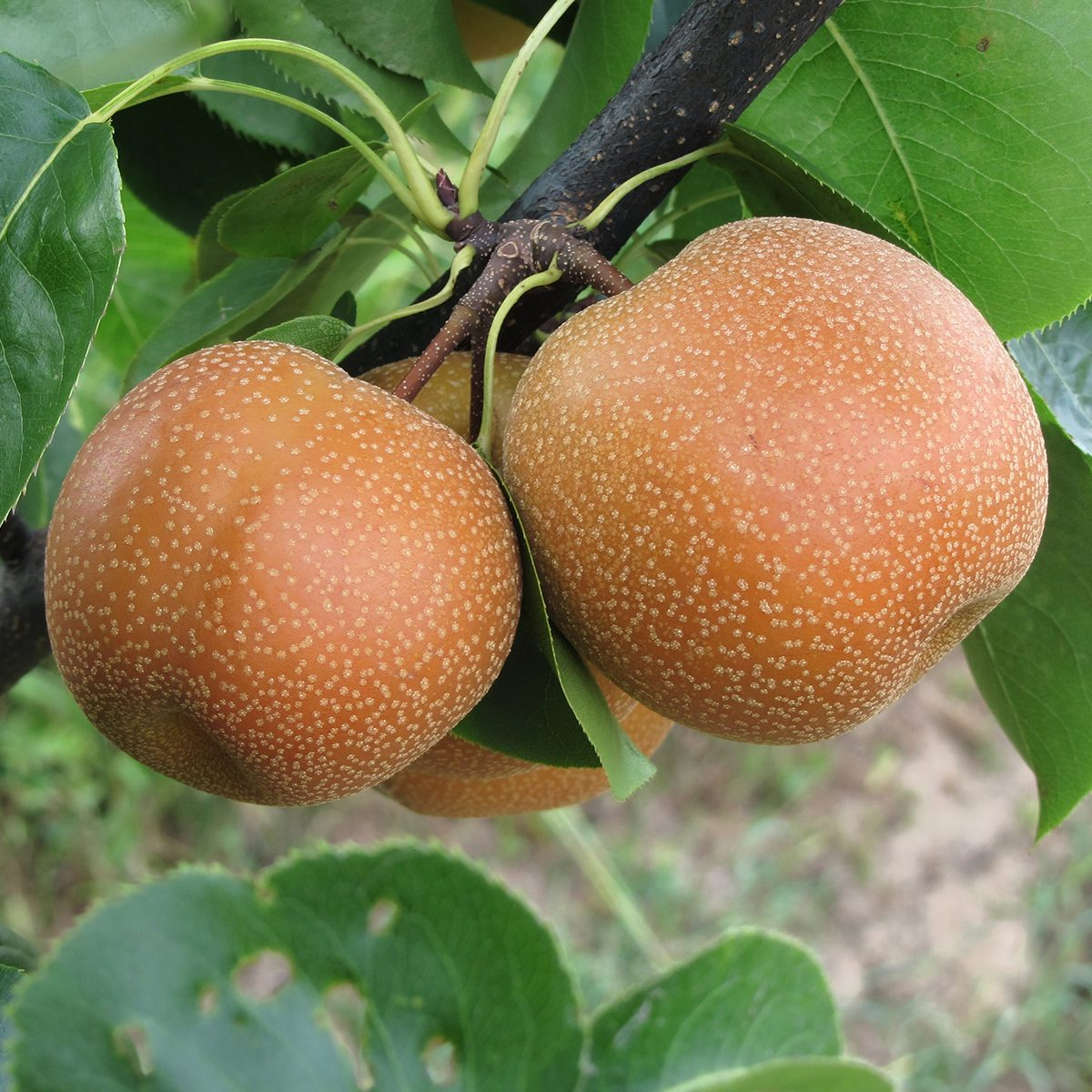 Nashi pears known also as apple pears hanging on the tree . Pyrus pyrifolia is a species of pear tree of the Rosaceae family native of East Asia