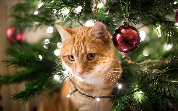 Close-Up Of Ginger Cat By Christmas Tree