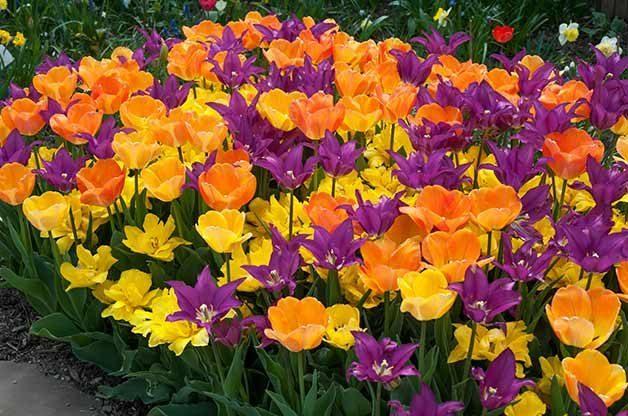Vitamin See tulips