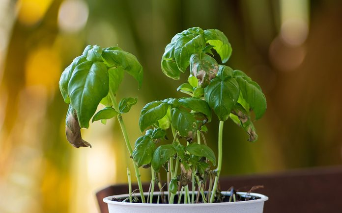 Small pot with a dying Basil plant in day light shallow depth of field 2020