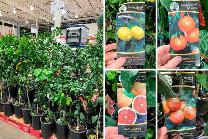 Costco Citrus Trees
