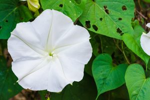 Moonflower Vine Is the Fragrant, Night-Blooming Plant You Need in Your Garden