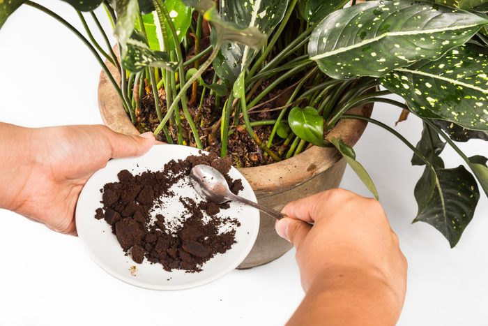 Spent Coffee Grounds Being Used As Natural Plants Fertilizer