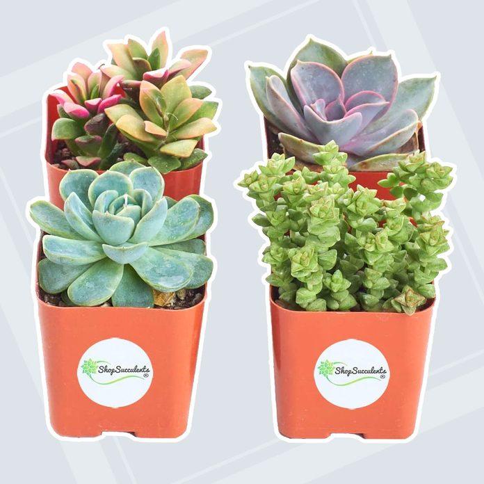 Mini Live Succulents adult easter basket