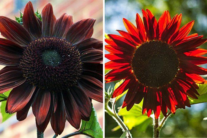 Chocolate Cherry Sunflowers