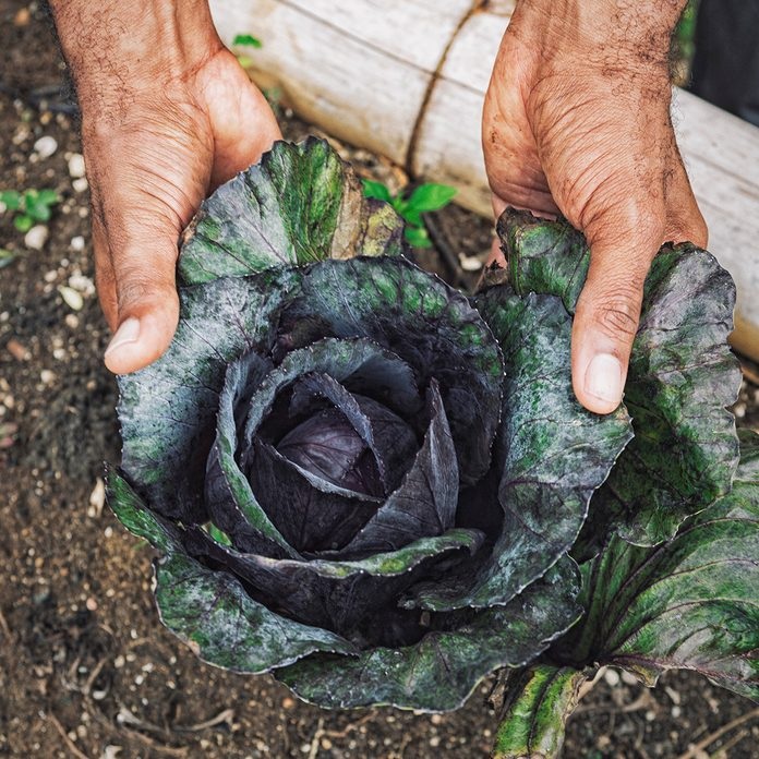 traditional jamaican foods Organic Cabbage Growing