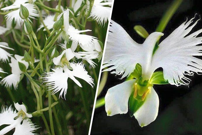 dove flower or Egret Flower