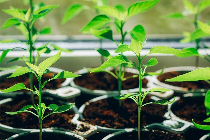 Pepper Seedlings In Peat Cups