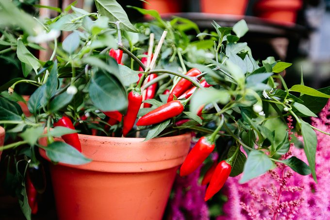 Red Cilli Peppers Growing In Flower Pot Close Up