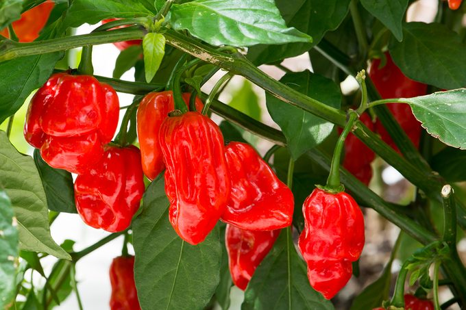 Extreme Hot Peppers   World Record No. 1 Hottest Fresh Carolina Reaper Peppers On Plant