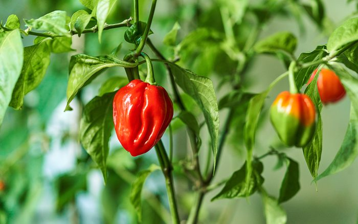 how to grow hot peppers Habanero Plant Featuring Fresh, Ripe Habanero Peppers, Ready For Picking