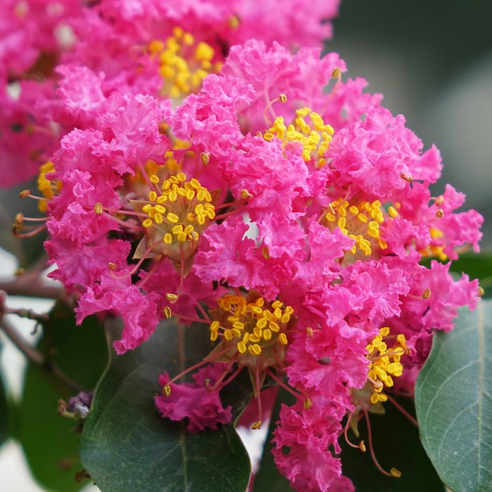 Lagerstroemia indica flowers bloom in the garden