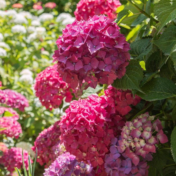 Large mop heads of a deep pink hydrangea - hortensia in the foreground wih out of focus hydrangeas in the background. Taken on a lovely sunny day.