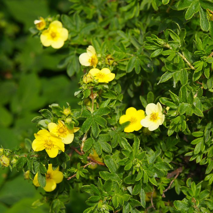 Potentilla fruticosa sommerflor shrubby cinquefoil yellow flowers with green