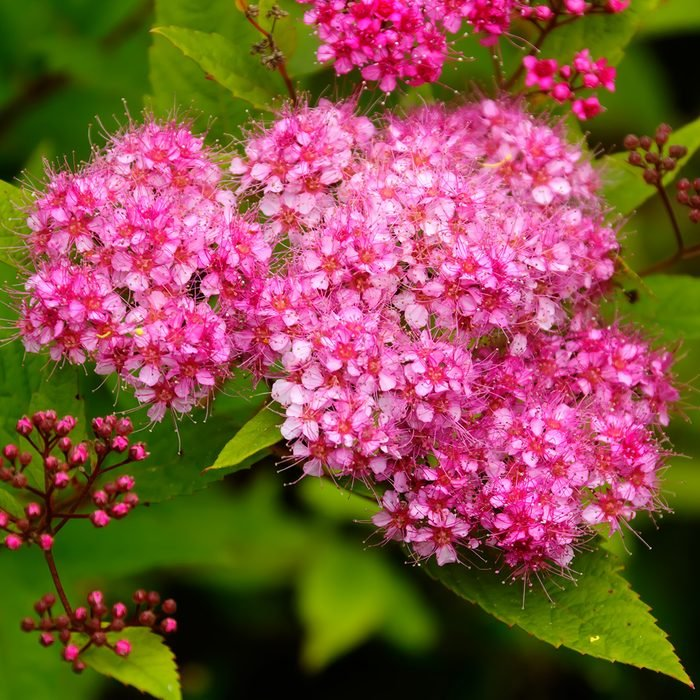 The blossoming bush of a spirea Japanese growing in a summer garden.