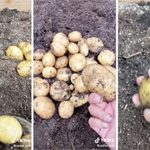 This Gardener Figured Out How to Propagate Potatoes from Store-Bought Spuds