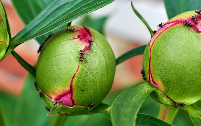 peonies care Buds Of Pink Peonies And Ants.