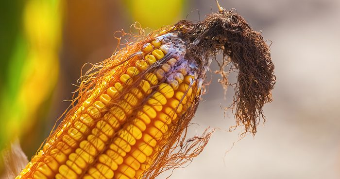 Immature, Diseased And Moldy Corn Cob On The Field, Close Up.