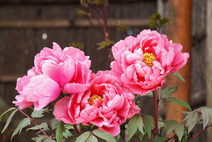 Peony Flower Blooming In Japanese Garden.