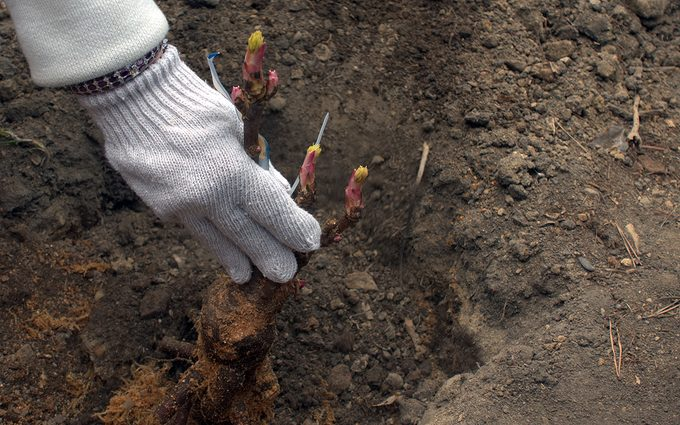 peonies care Man's gloved hand supports young tree peony while putting it in a planting hole