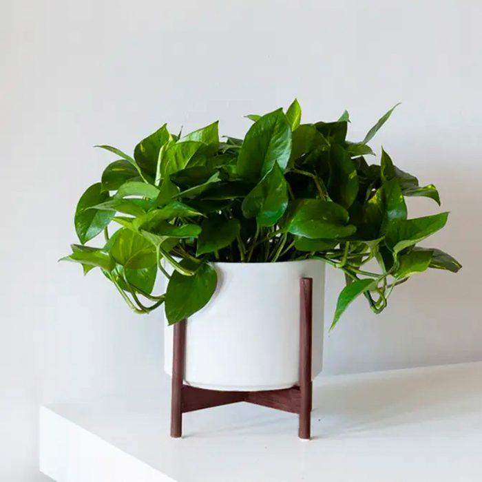 houseplants for sale Cascading Pothos Medium